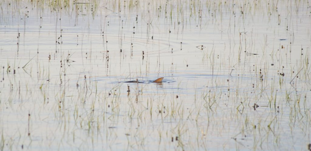 tailing redfish - flood tides