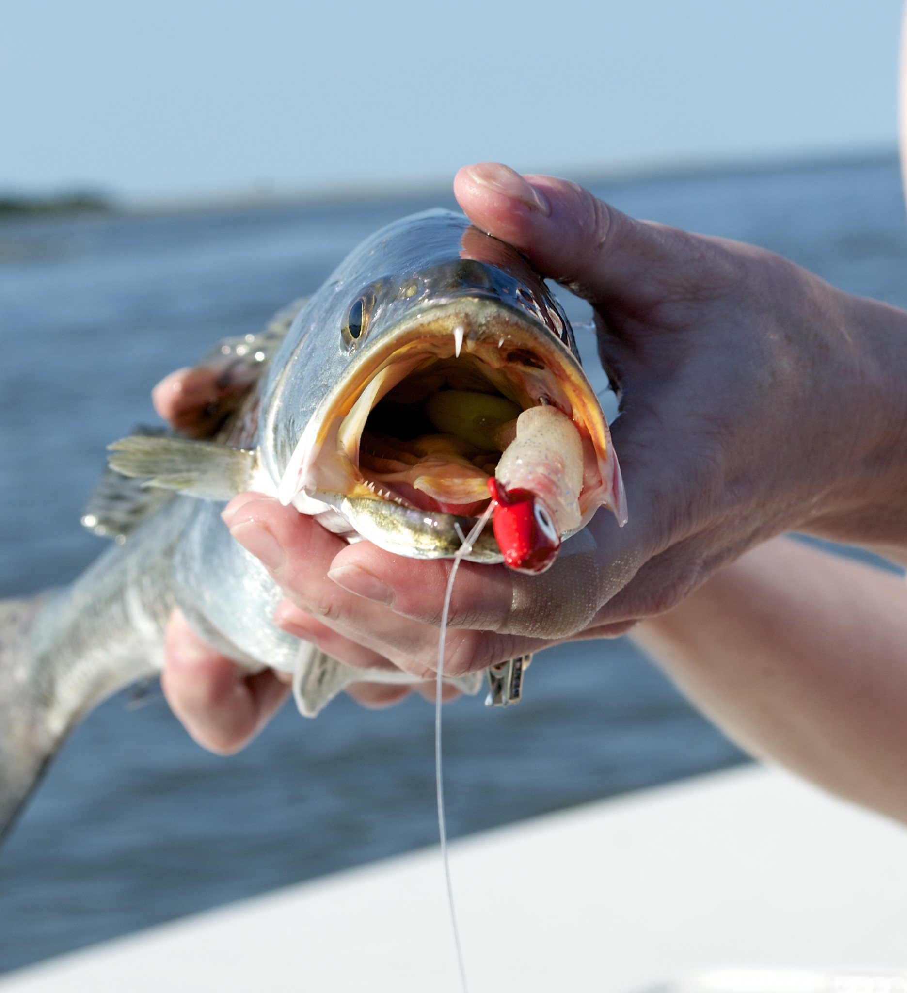 Early Summer Fishing-speackled sea trout