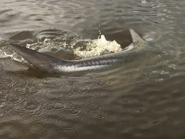 south Carolina tarpon fishing