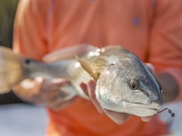 Redfish - bull drum